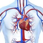 Wie funktionieren Herz und Kreislauf?