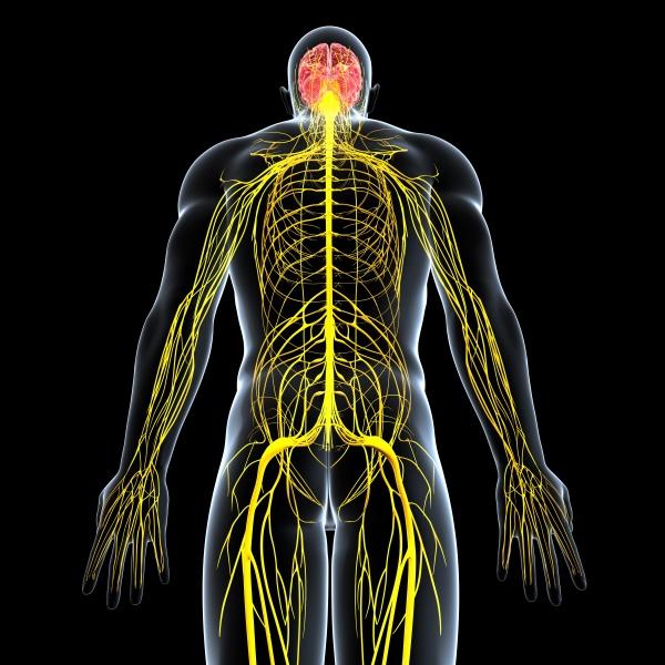 Wie funktionieren Gehirn und Nerven? - Geprüfte Drogistinnen und ...